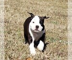 Small Olde English Bulldogge
