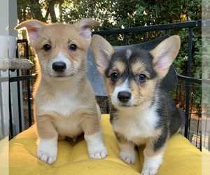 Pembroke Welsh Corgi Litter for sale in MALIBU, CA, USA
