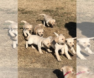 Labrador Retriever Litter for sale in ALLEN, TX, USA