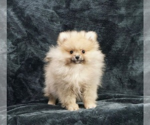Pomeranian Litter for sale in WARSAW, IN, USA