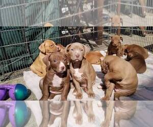American Pit Bull Terrier Litter for sale in BROOKLYN, NY, USA