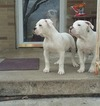 American Bulldog Puppy For Sale in CHEBANSE, IL, USA