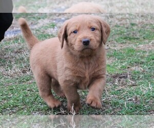 Labradoodle Litter for sale in AUBURNTOWN, TN, USA