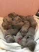Weimaraner Puppy For Sale in NEW HOLLAND, PA, USA