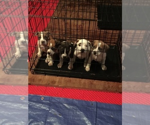 American Pit Bull Terrier Litter for sale in BEAUMONT, TX, USA