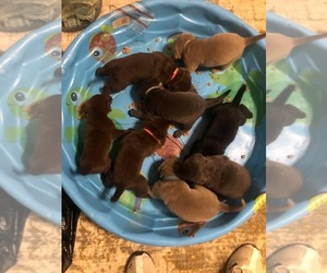 Labrador Retriever Litter for sale in W MILLGROVE, OH, USA