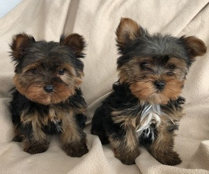 Yorkshire Terrier Litter for sale in KALONA, IA, USA