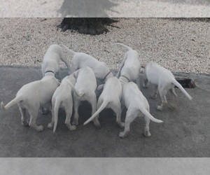 Dogo Argentino Litter for sale in WESLEY CHAPEL, FL, USA