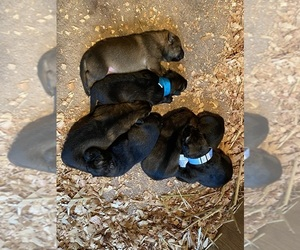 German Shepherd Dog Litter for sale in LACEY, WA, USA