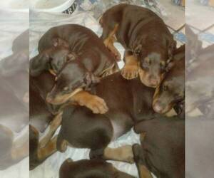 Doberman Pinscher Litter for sale in SAINT AUGUSTINE, FL, USA