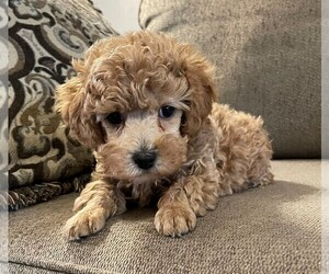 Poodle (Toy) Litter for sale in BROWNSVILLE, KY, USA