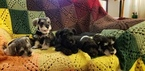 Schnauzer (Miniature) Puppy For Sale in BRKN ARW, OK, USA