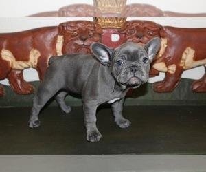 French Bulldog Litter for sale in EVERETT, WA, USA