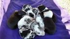 Border Collie Puppy For Sale near 36792, Randolph, AL, USA
