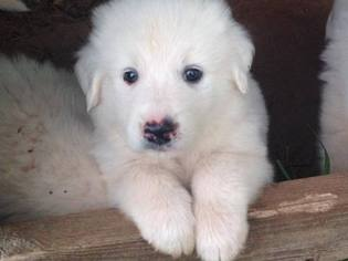 Great Pyrenees Litter for sale in STATHAM, GA, USA