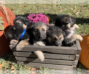 German Shepherd Dog Litter for sale in JOPLIN, MO, USA