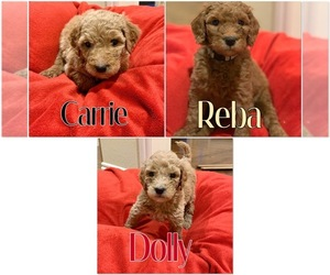 Goldendoodle Litter for sale in TULSA, OK, USA