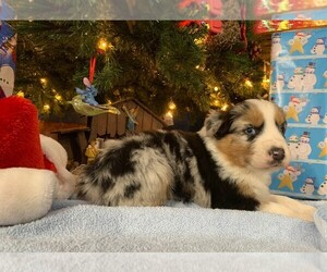 Australian Shepherd Litter for sale in LEBANON, IN, USA