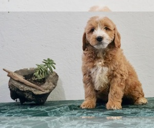 Goldendoodle-Poodle (Miniature) Mix Litter for sale in NAPPANEE, IN, USA