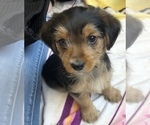 Yorkie-Poo Puppy For Sale in HUNTERSVILLE, NC, USA