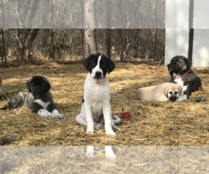 Anatolian Shepherd Litter for sale in CHANDLERVILLE, IL, USA