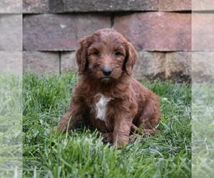 Goldendoodle-Poodle (Standard) Mix Litter for sale in MILLERSBURG, OH, USA