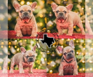 French Bulldog Litter for sale in HOUSTON, TX, USA