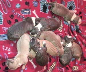 American Bully Litter for sale in SALEM, IL, USA