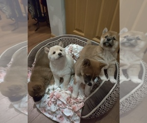 Shiba Inu Litter for sale in CRYSTAL LAKE, IL, USA