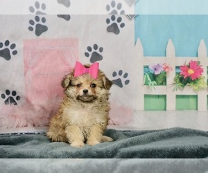 Pom-A-Poo-Poodle (Toy) Mix Litter for sale in WARSAW, IN, USA