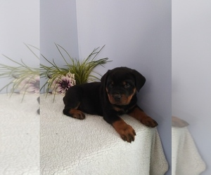 Rottweiler Litter for sale in SHIPSHEWANA, IN, USA