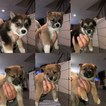 Shiba Inu Puppy For Sale in INVER GROVE HEIGHTS, MN, USA