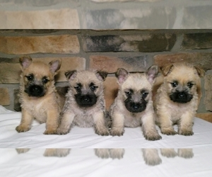 Cairn Terrier Litter for sale in SUGARCREEK, OH, USA