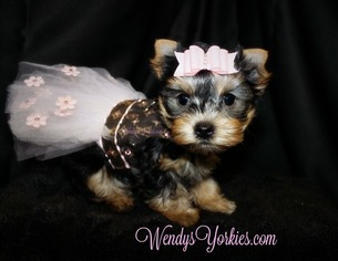 Yorkshire Terrier Litter for sale in POWDERLY, TX, USA