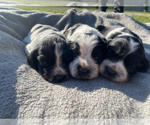 English Springer Spaniel Litter for sale in ATWATER, OH, USA