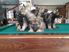 German Shepherd Dog Puppy For Sale in SEALE, AL, USA
