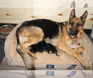 German Shepherd Dog Litter for sale in WESTCLIFFE, CO, USA