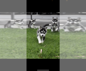 Siberian Husky Litter for sale in COSTA MESA, CA, USA