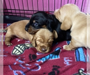 Dachshund Litter for sale in CARROLLTON, IL, USA