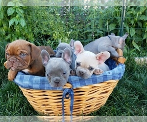 French Bulldog Litter for sale in PASCO, WA, USA