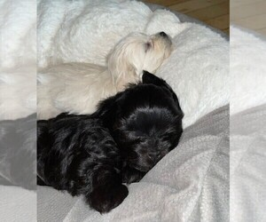 ShihPoo Litter for sale in BAYPORT, MN, USA