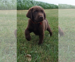 Labrador Retriever Litter for sale in SOUTH WAYNE, WI, USA