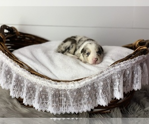Border Collie Litter for sale in LECOMA, MO, USA