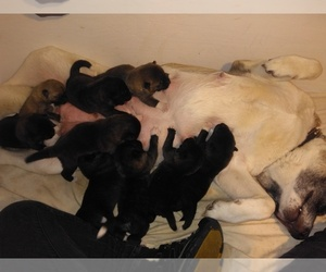 View Ad Akita Litter Of Puppies For Sale Near Ohio Fresno Usa Adn 21319