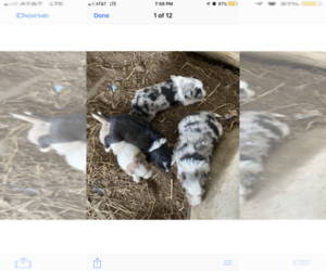Border Collie Litter for sale in VALLEY FALLS, KS, USA