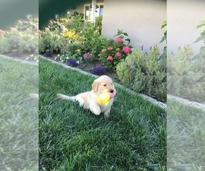 Golden Retriever Litter for sale in GLENN, CA, USA