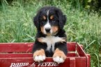 Bernese Mountain Dog Puppy For Sale in BRINGHURST, IN, USA