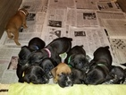 Boxer Puppy For Sale in GRAND BLANC, MI, USA
