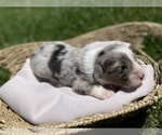 Small Photo #1 Australian Shepherd Puppy For Sale in WEST PLAINS, MO, USA
