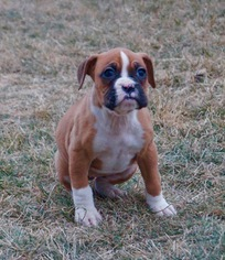 Boxer Litter for sale in NAPPANEE, IN, USA
